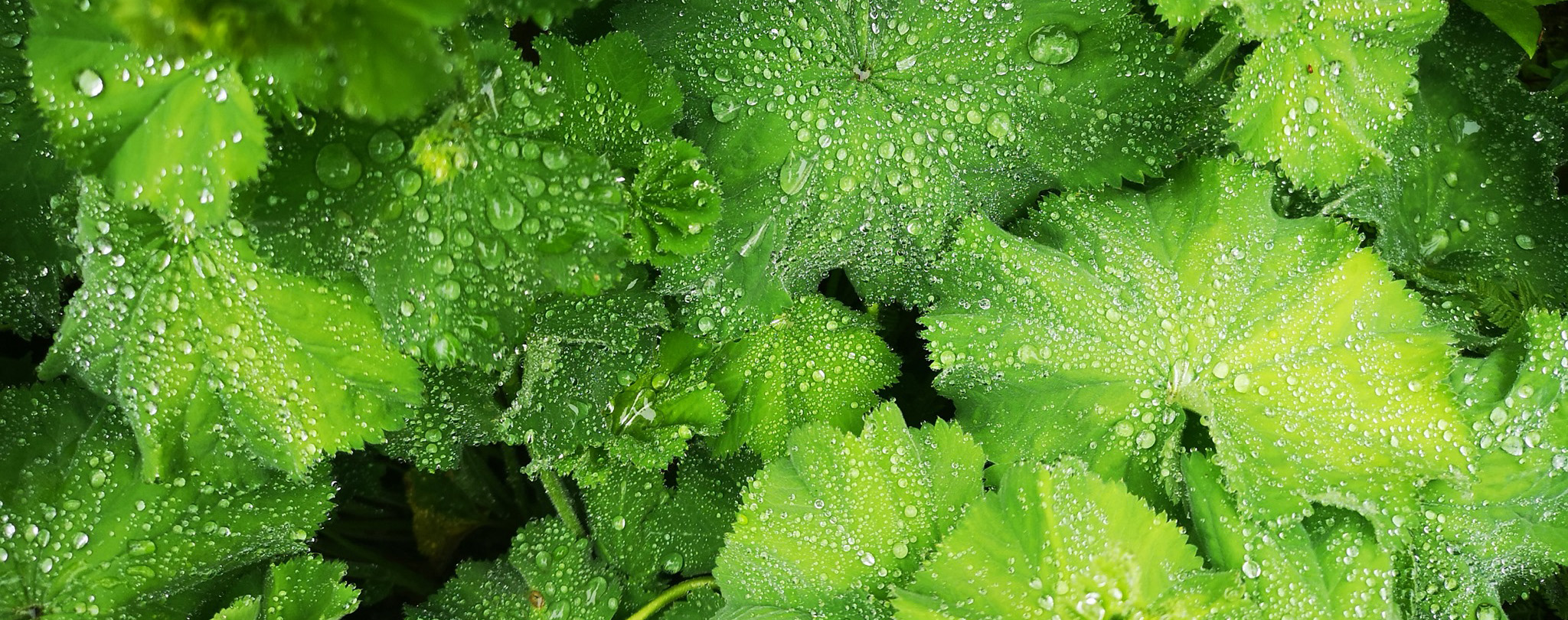 Gardening-page-photo-of-alchemilla-in-the-rain