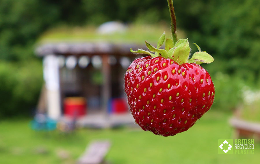A freshly-picked strawberry in front of Redacre allotments' bandstand.