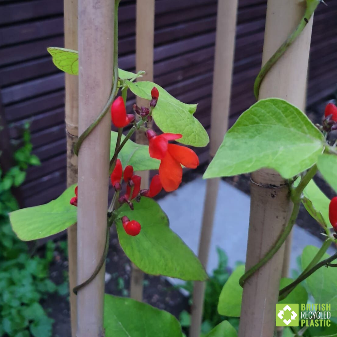 Garden to table growing. Runner bean flowers.