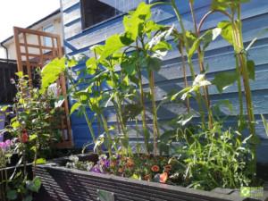 Suzi's 500mm raised bed in urban garden