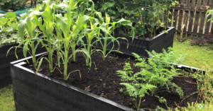 Corn growing in a BRP recycled plastic raised bed.