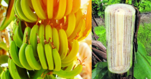 Banana plant and pseudostem